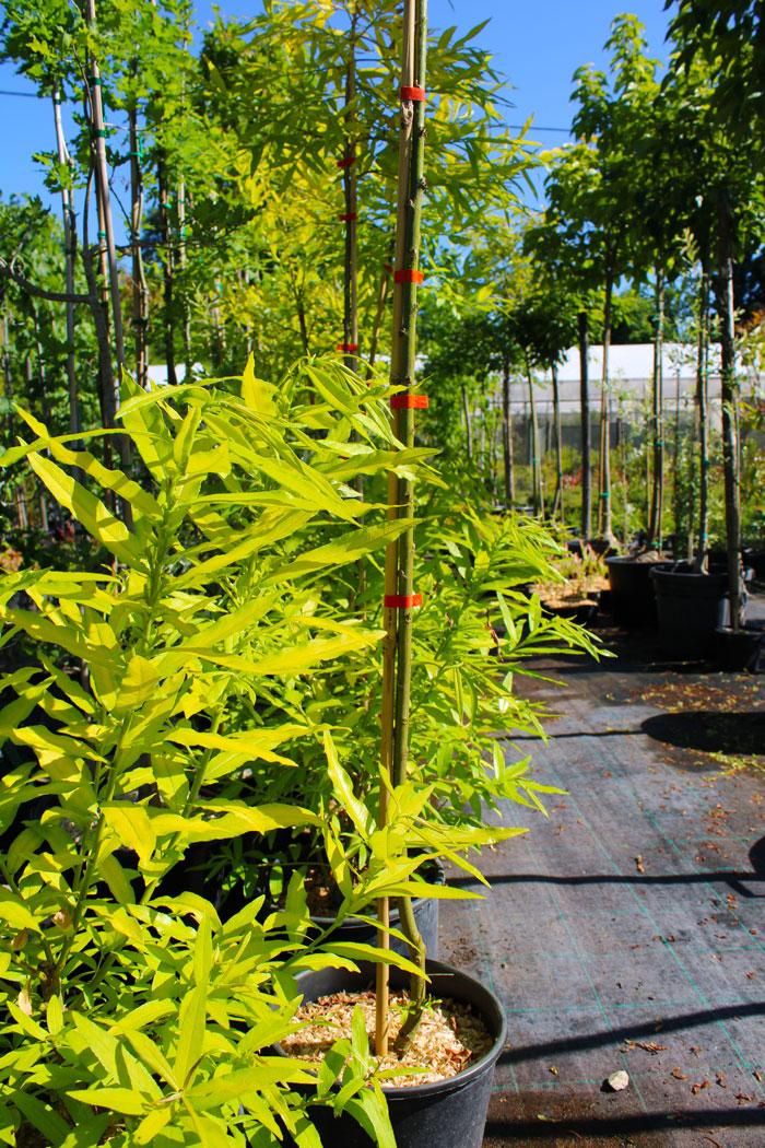 pepiniere-trenty-bambou