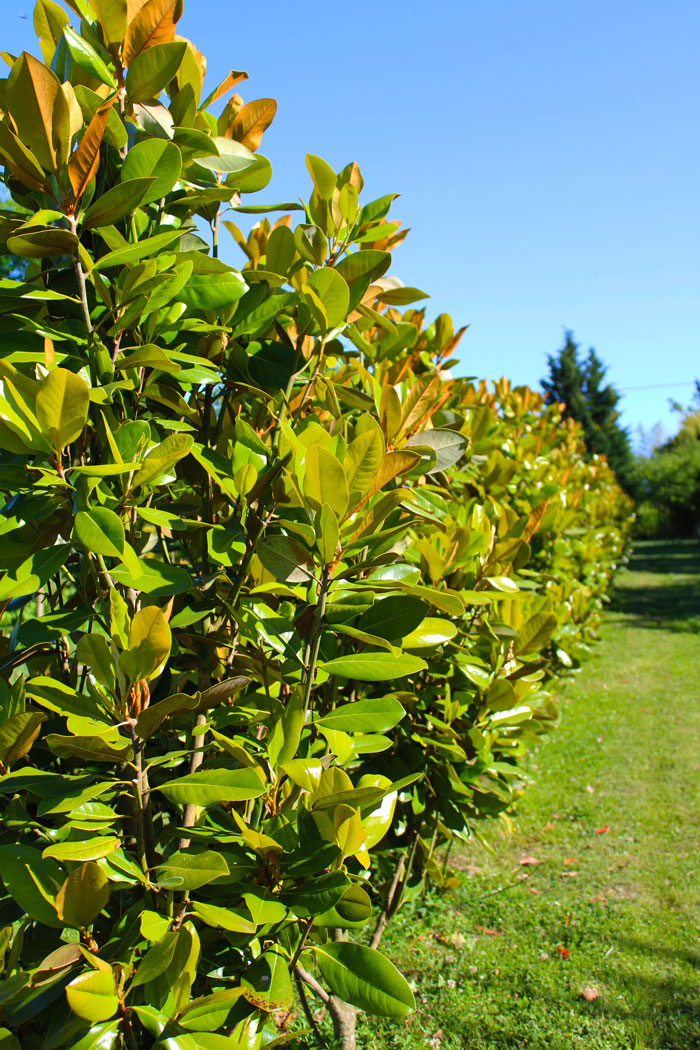 pepiniere-trenty-magnolia