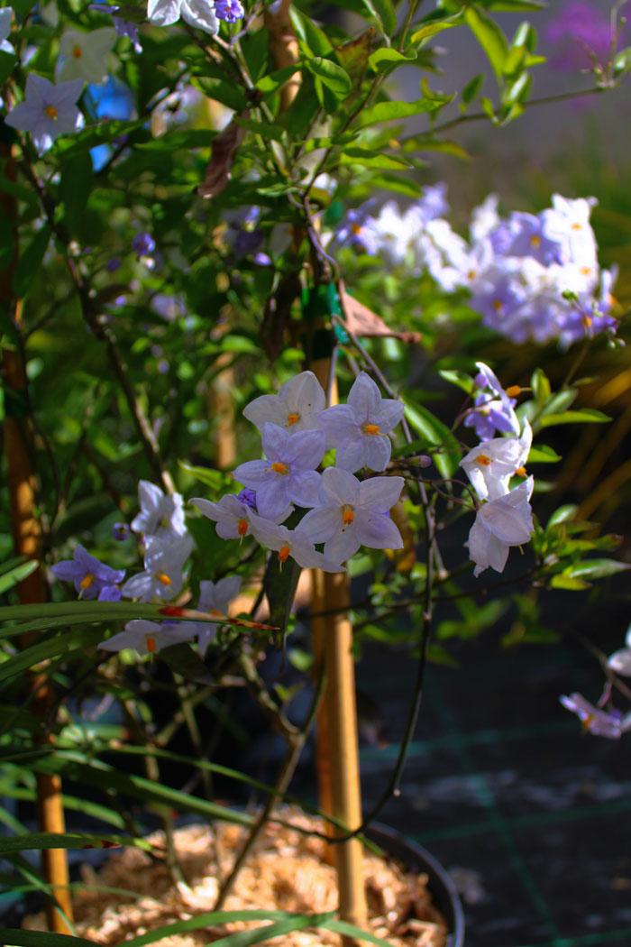 pepiniere-trenty-solanum-jasminoides